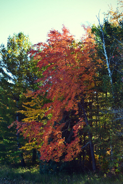 red maple in Cloverland in fall